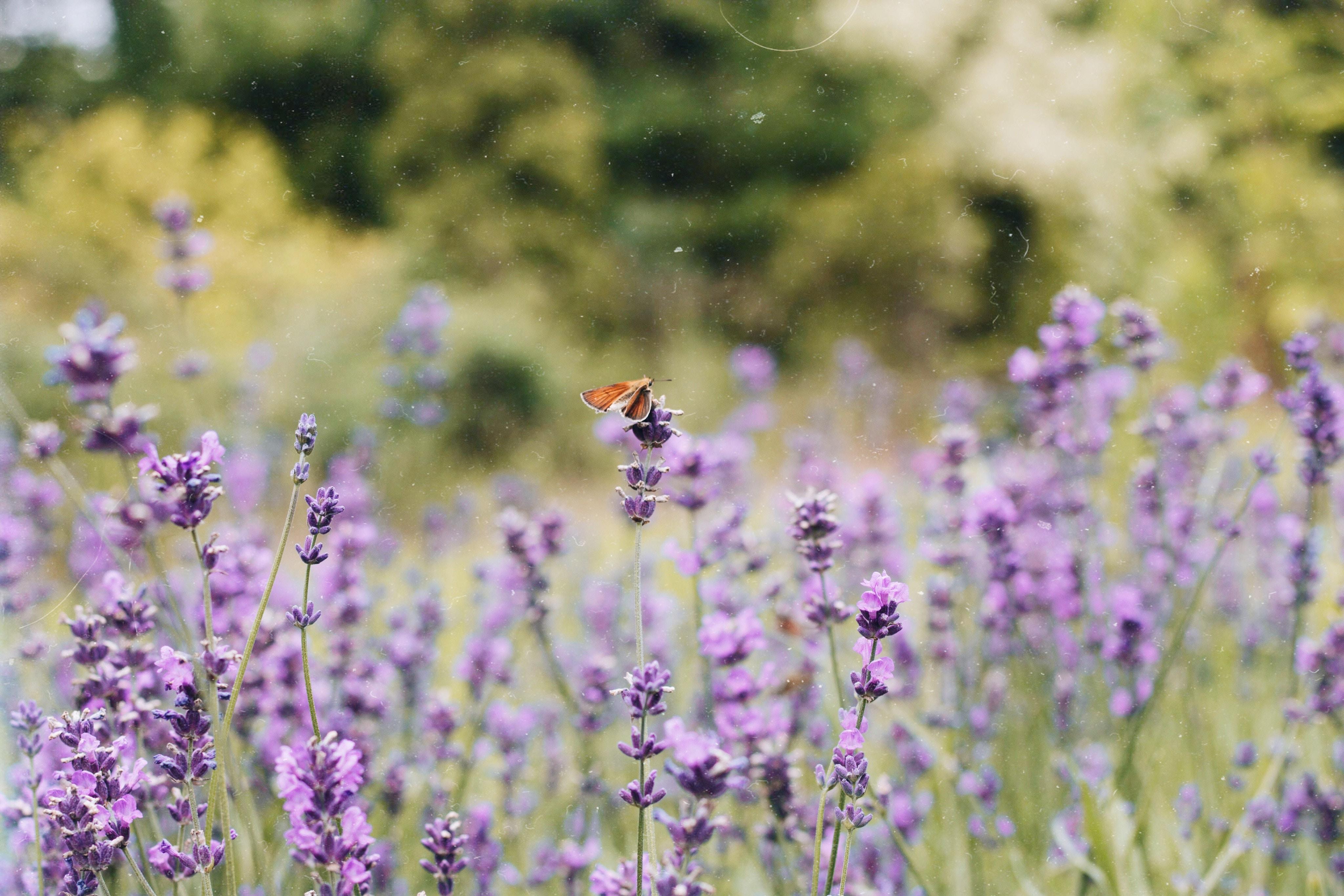Sweet lavender – sex lavendelprodukter jag älskar